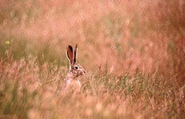Jackrabbit in tall grass