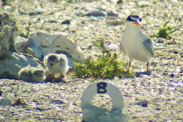 terns at nest
