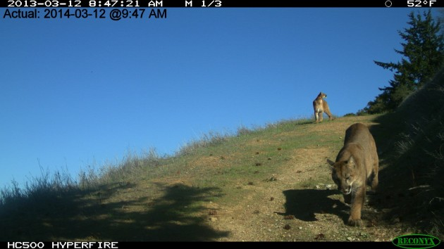 A motion-sensor camera captures the moment as two mountain lions crest a hill on Stigall's property. One lion turns to look off to the right. What caught its attention? (Photo by Georgia Stigall)