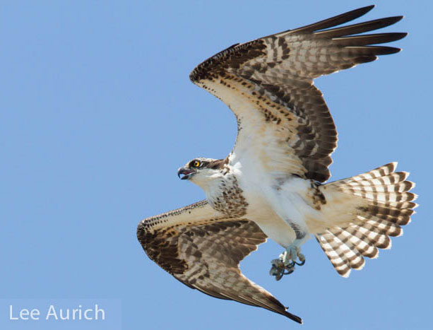 An osprey fledgling at Point Richmond flies towards its nest atop a Whirley crane. Photo: Lee Aurich.