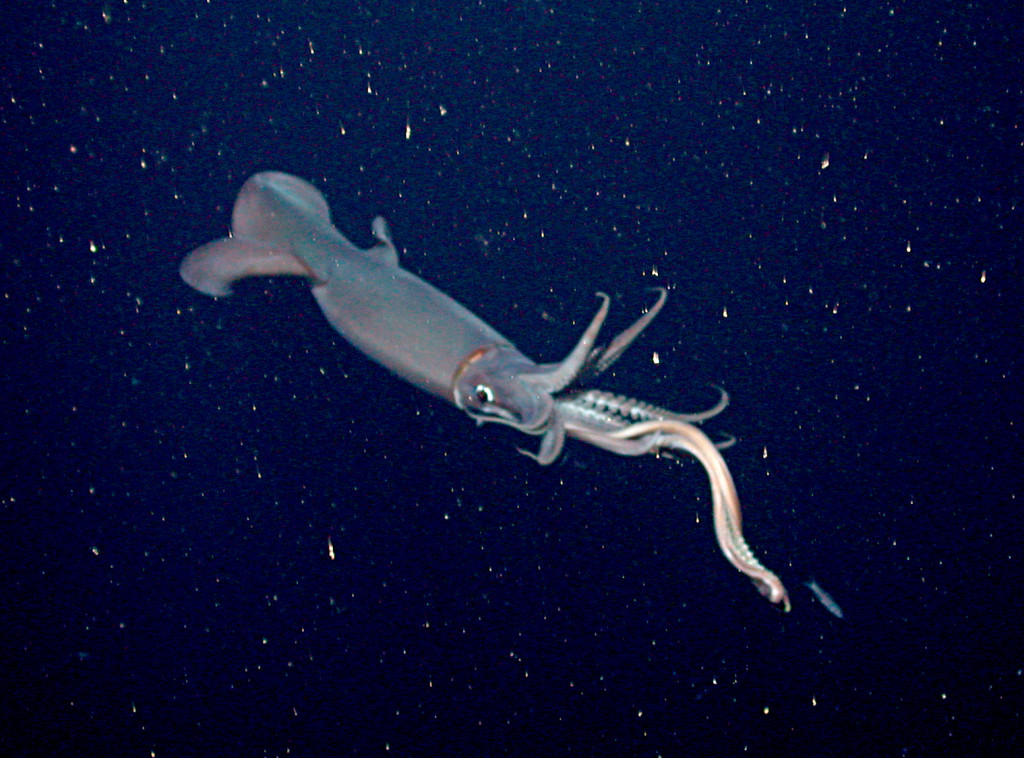 A Humboldt squid reaches out its tentacles to capture a small fish. (Photo by MBARI/2003)