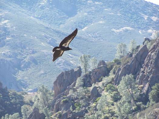 A condor flies over Pinnacles. (Photo by Sara Bartels, courtesy Golden Gate Audubon Society)