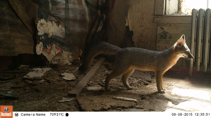 A hidden camera captured this photo of a gray fox in the Presidio, the first spotted in San Francisco in more than a decade. (Photo courtesy Jonathan Young, Presidio Trust)