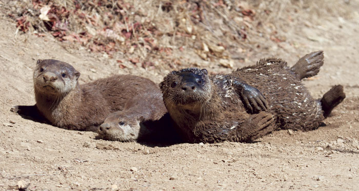 river otter in Oakland
