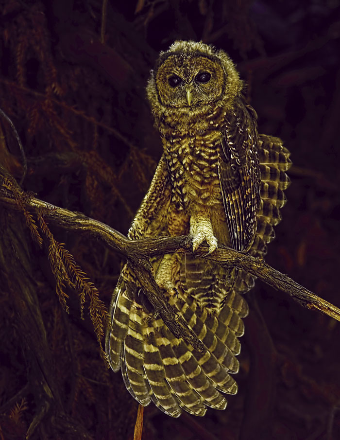 spotted owl at night