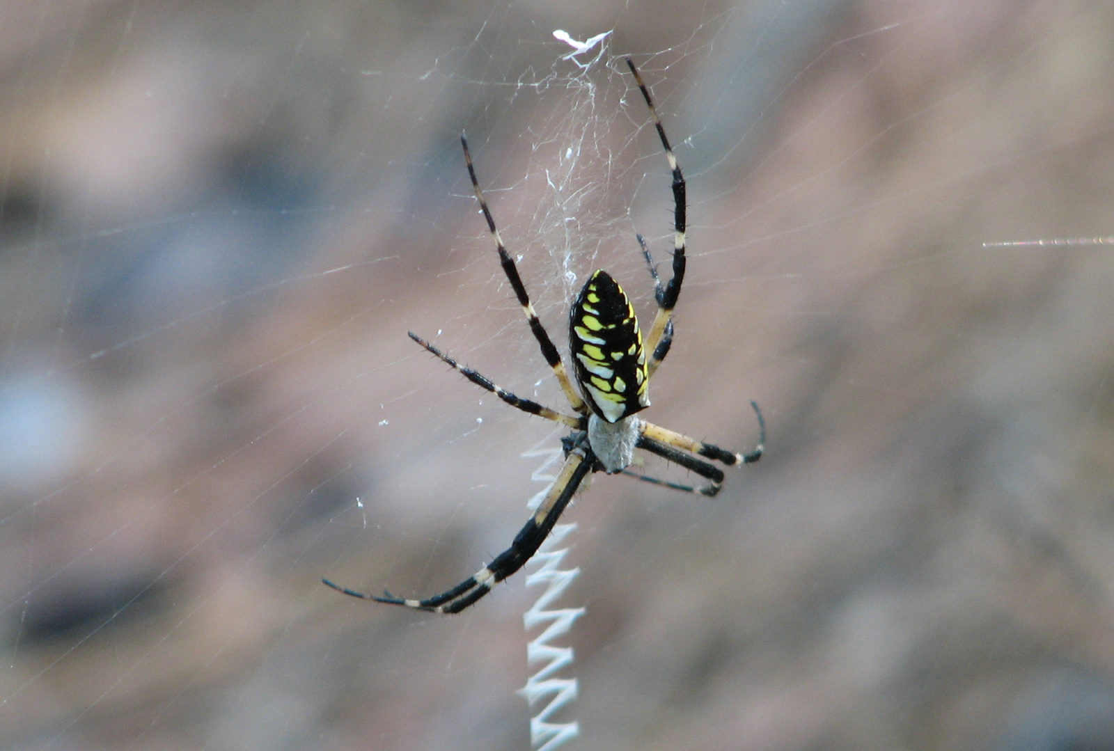 Bay Nature Magazine: Garden Spiders Grow Big and Live Large