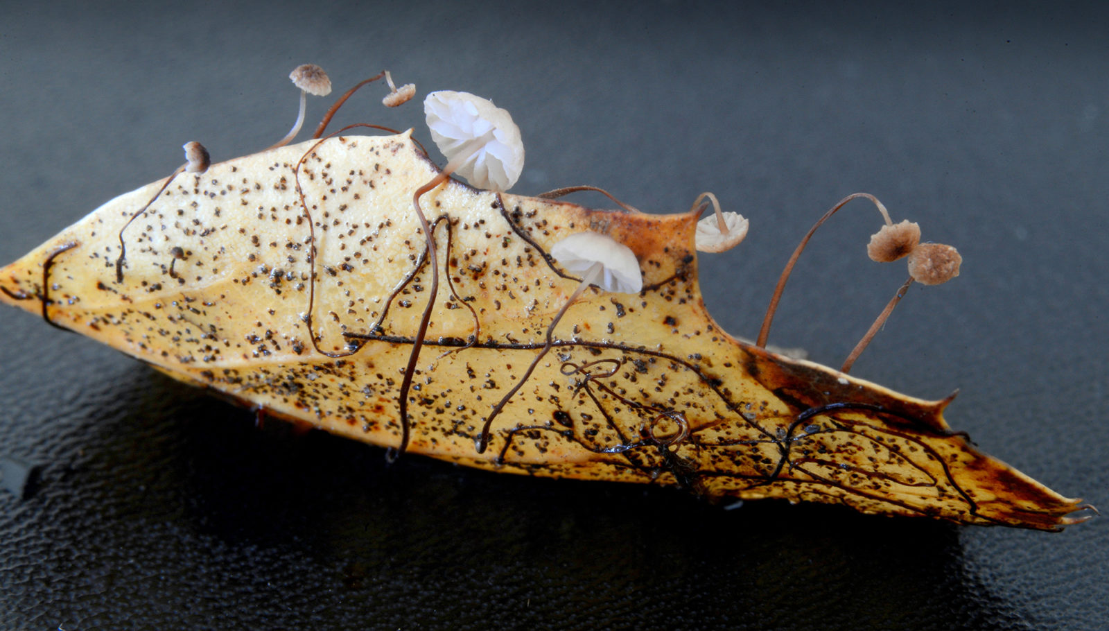 fungi on oak leaf