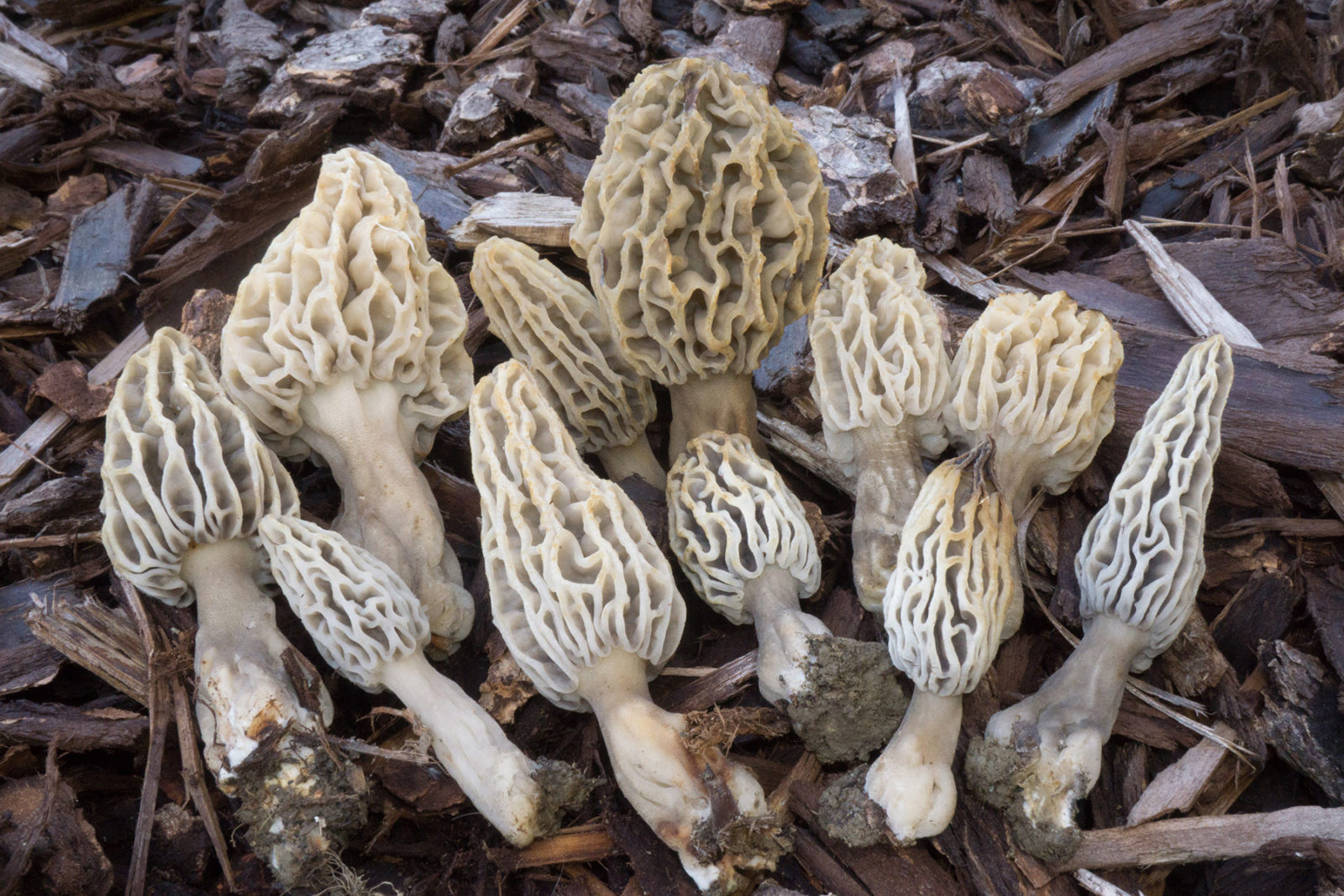 Bay Nature: Where Do Morel Mushrooms Grow in Northern California