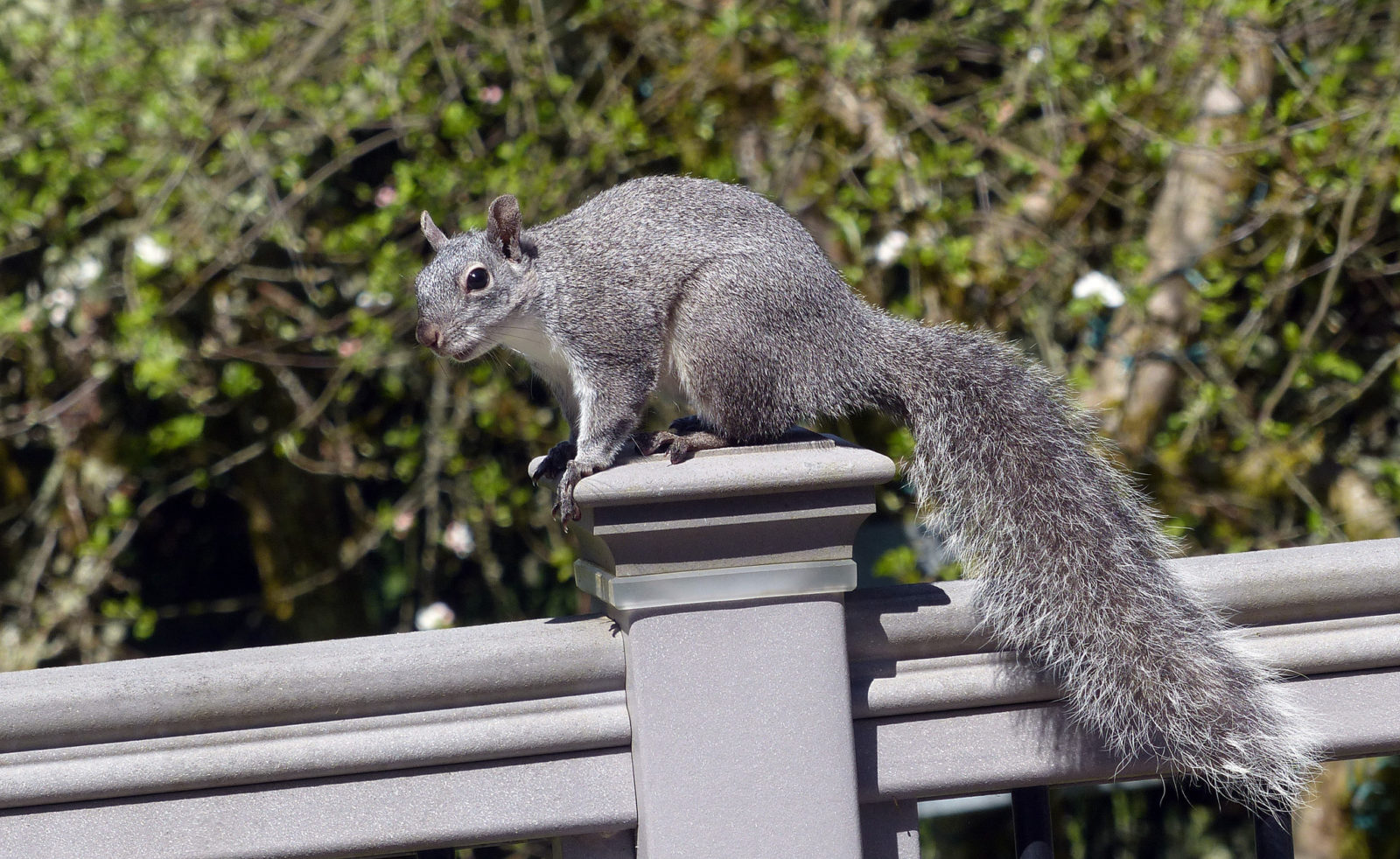 western gray squirrel