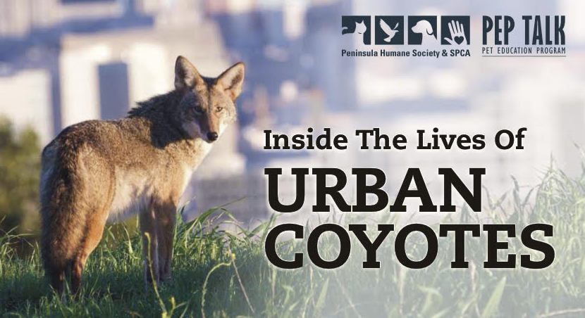 Photo of a coyote advertising PEP Talk on urban coyotes